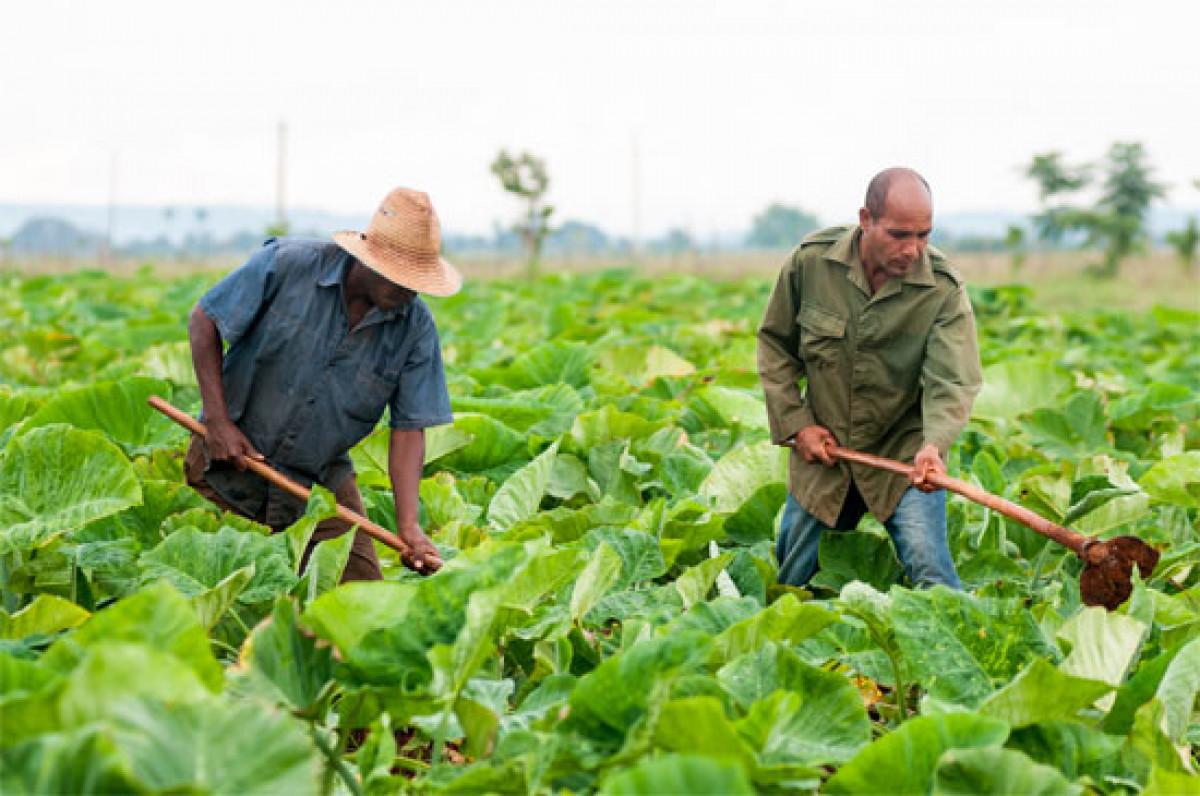 Microorganismos eficientes incrementan rendimiento agrícola en Cuba