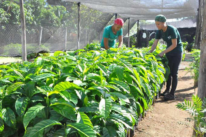 Avanza proyecto cafetalero en Guisa
