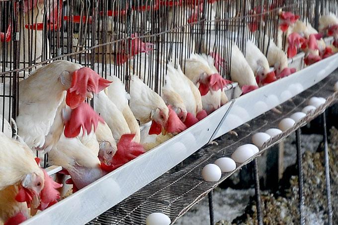 Avicultores sobrecumplen planes  de producción de huevo y carne