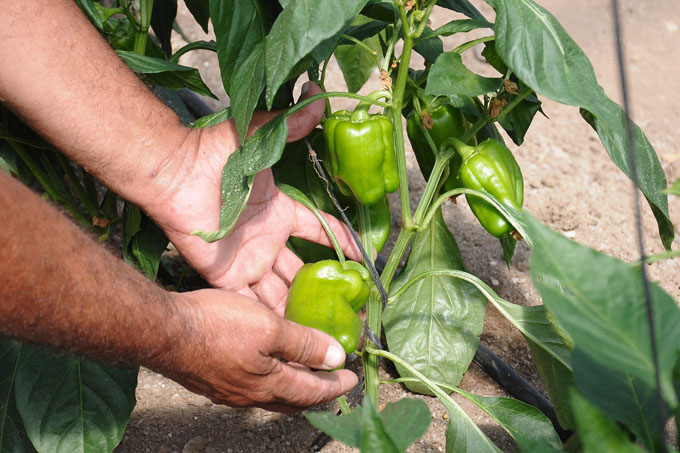 Agricultores con mirada 20-20 en producción de alimentos