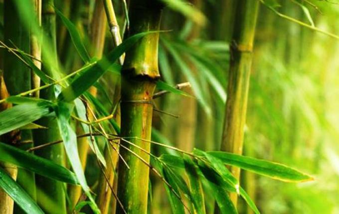 El bambú, alternativa productiva en sector agrícola de Cuba