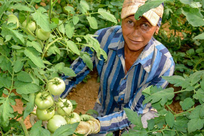 Exceden plan de siembra de tomate en Granma