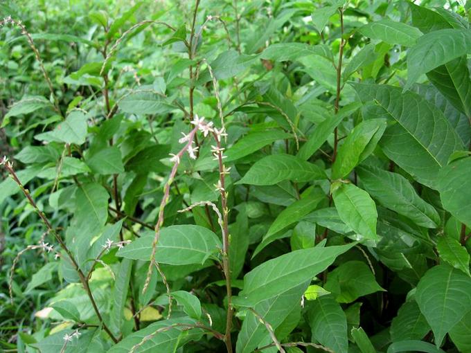 Avileños incluyen el anamú en el Programa de Plantas Medicinales