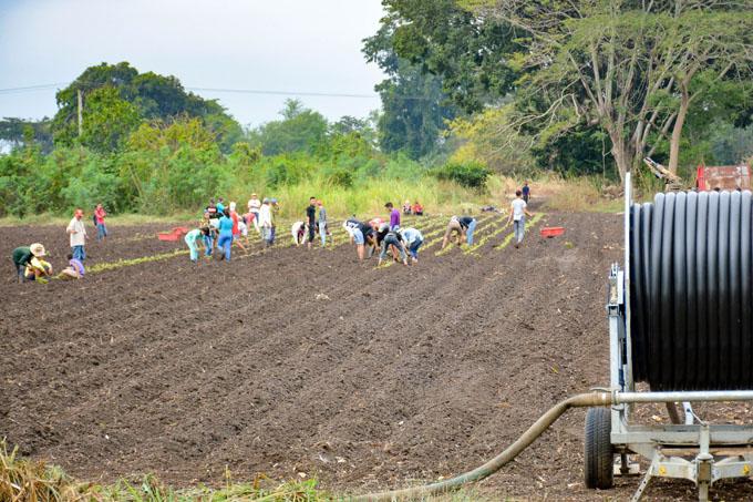 Agricultores trabajan para cumplir plan de siembra de frío