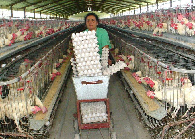Garantizan  producción y comercialización de huevos de gallina