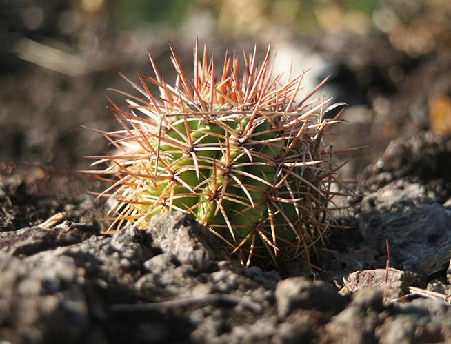 Crece colonia de melocactus en peligro crítico de extinción