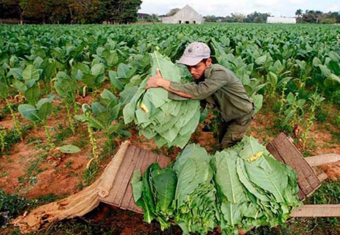 El XXII Festival del Habano se traslada hoy hacia las plantaciones de tabaco