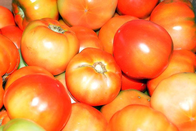 Aseguran cumplimiento en cosecha de tomate