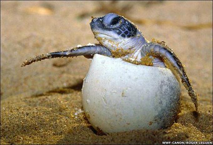 Miles de pequeñas tortugas marinas invaden playa Rushikulya en India