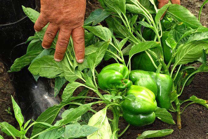 Adoptan medidas en la Agricultura para garantizar alimentos