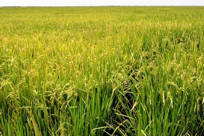La provincia mayor productora de arroz en Cuba ante un nuevo reto