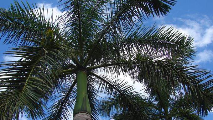 Proponen expertos incentivar reproducción de la palma real (+video)