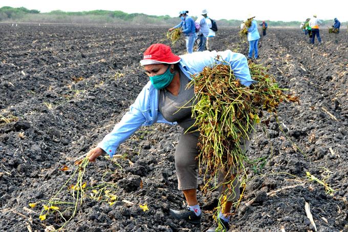 Granma alista tierra y produce azúcar