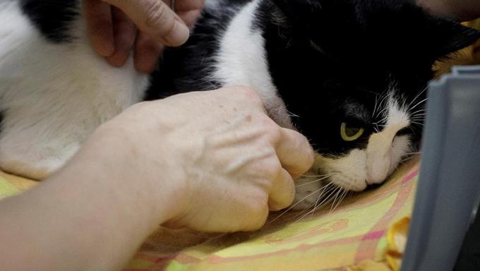 Francia reporta primer caso de gato contagio natural de Covid-19 (+video)