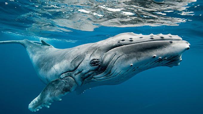 Revelaciones y extrañezas del fascinante y misterioso mundo de las ballenas (+video)