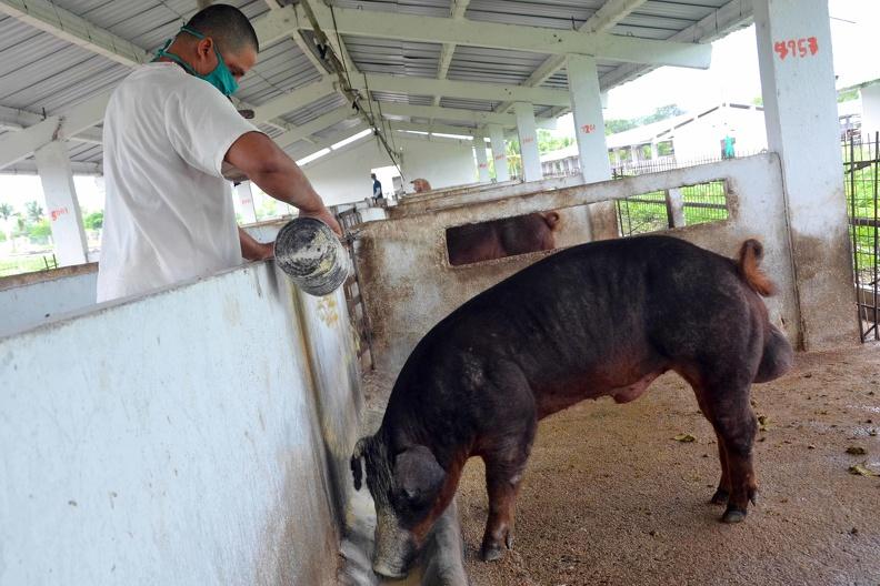 Porcicultores de Granma reciben tierras para producir alimentos (+fotos)