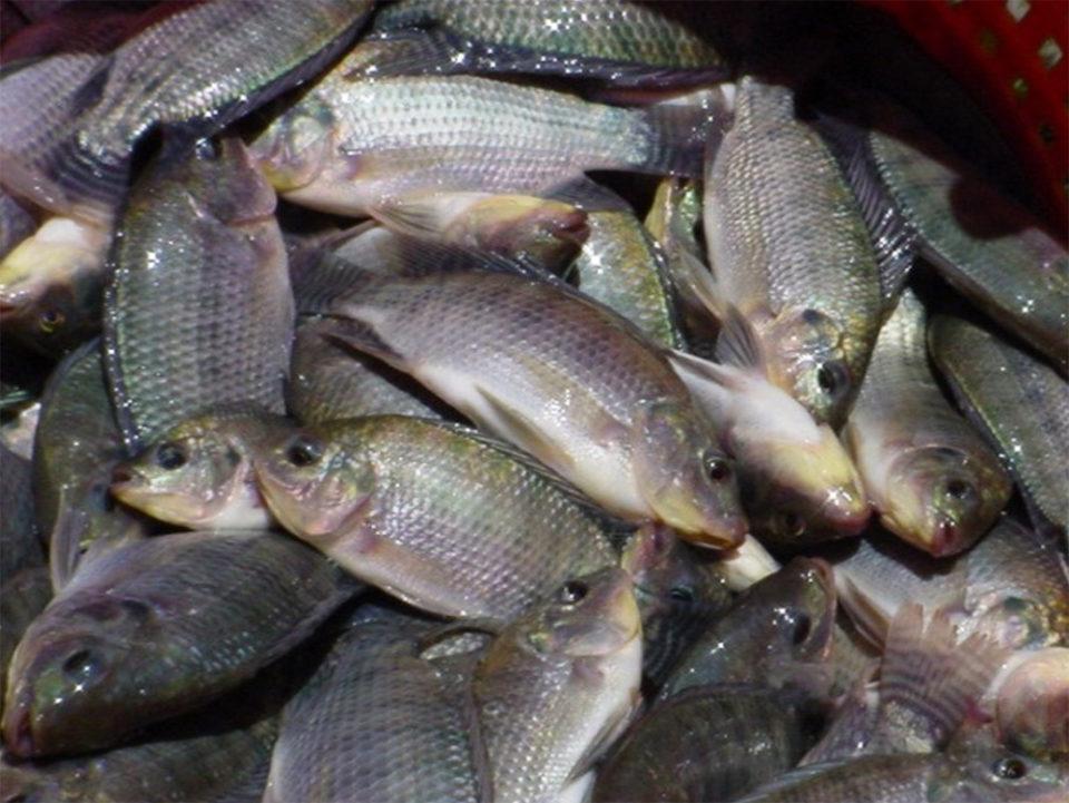 Granma apuesta a su desarrollo acuícola
