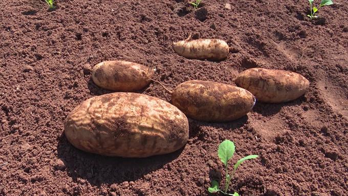 INIVIT por mayor riqueza genética en variedades de boniato