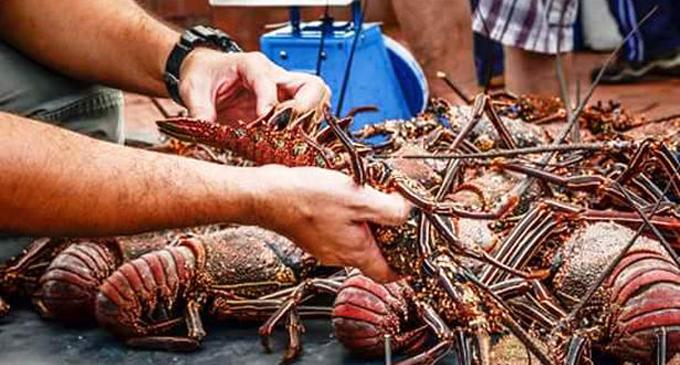 Realizaran pescadores niquereños levante de veda de la langosta