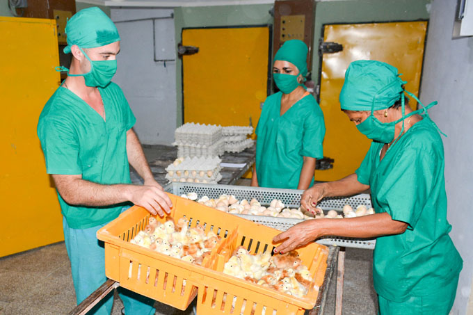 Recuperan capacidades productivas avícolas