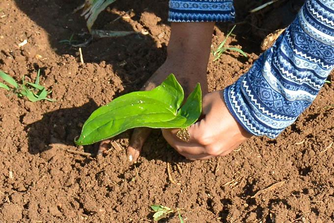 Fomentan producción de semillas de ñame y malanga