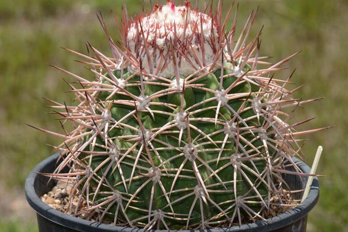 Reserva florística de provincia de Cuba alberga especie endémica