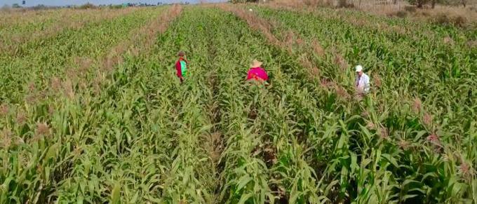 Tecnología cubana para aumentar producción de maíz