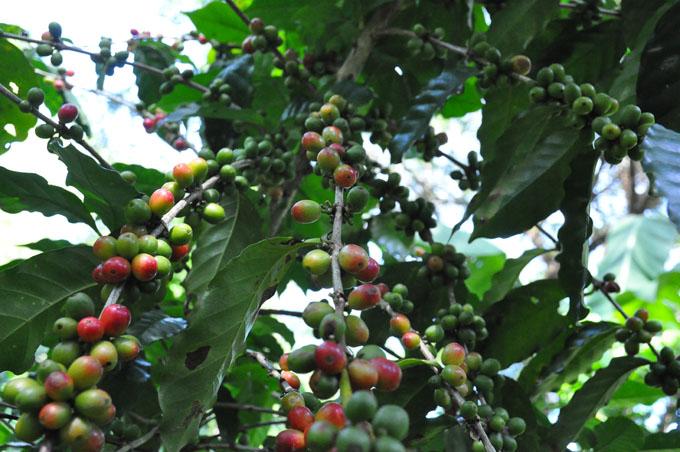 Comenzó cosecha cafetalera en Granma