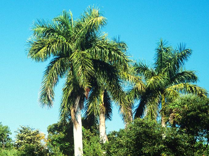 La palma real, una joya de la flora en Cuba
