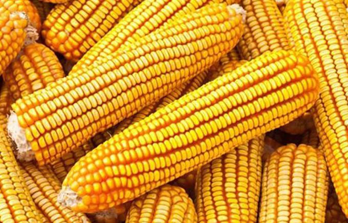 Con buenos resultados siembra de maíz transgénico de forma experimental en Santiago de Cuba