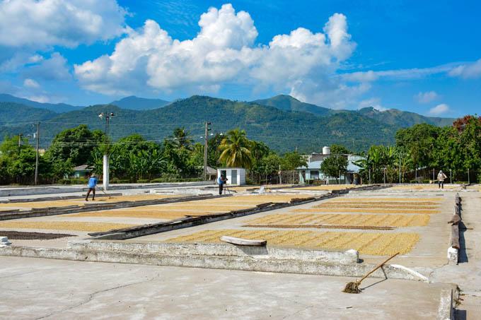 Avanza  preparativos  en  industria cafetalera en Buey Arriba