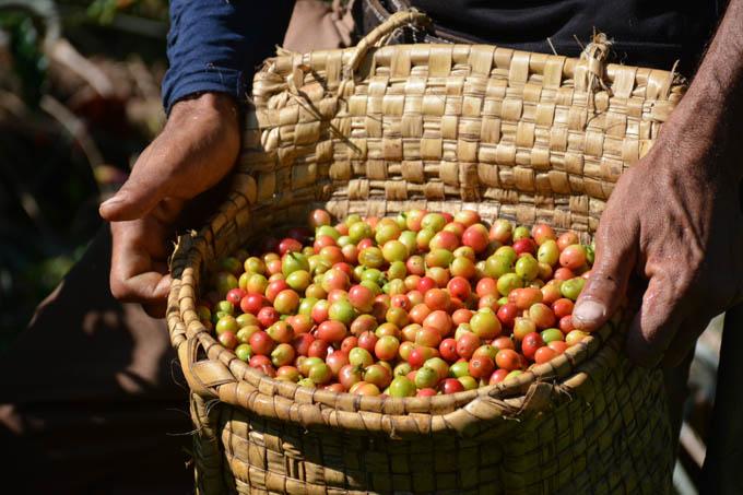 Proyecto Cuba –Vietnam: Primeros resultados en cultivo cafetalero