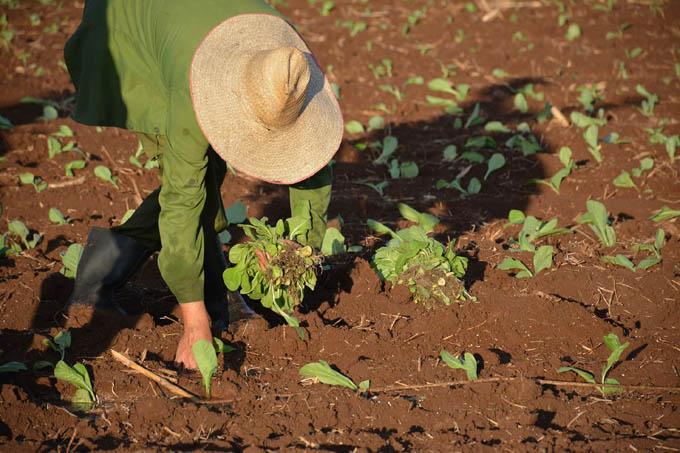 Comenzó campaña de siembra de tabaco