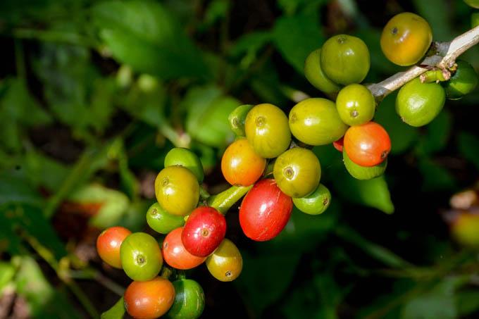 Acometen  recuperación en  la agricultura  granmense