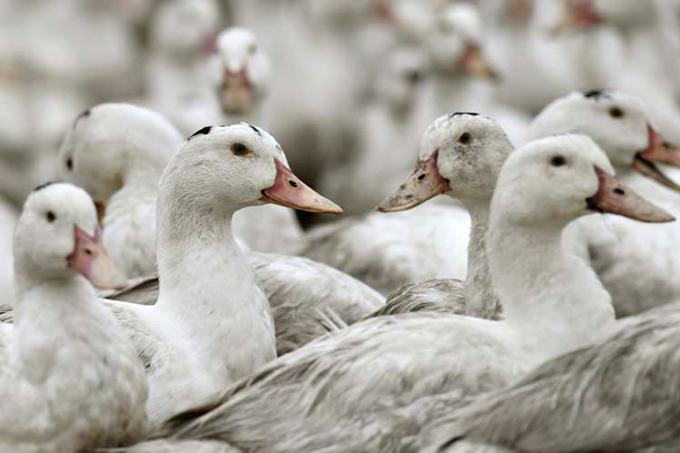 Francia sacrifica cientos de miles de patos por gripe aviar