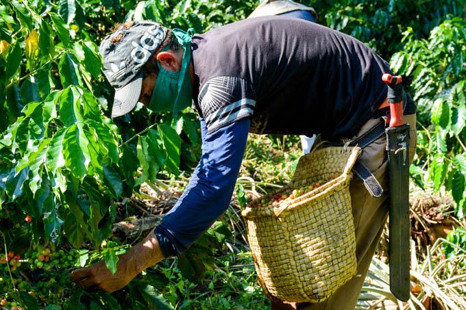 Continúa cosecha de café en la Sierra Maestra de Granma