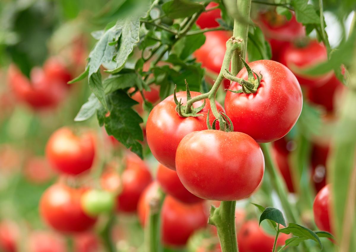 Apuesta Cuba por la recuperación del cultivo de tomate
