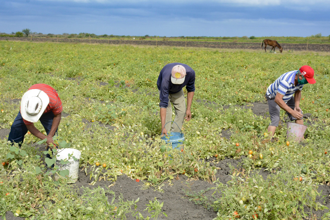 Renacen los cultivos varios en Cauto Cristo