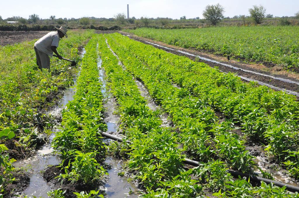 Sembrar y producir más en campaña de primavera en los cultivos varios