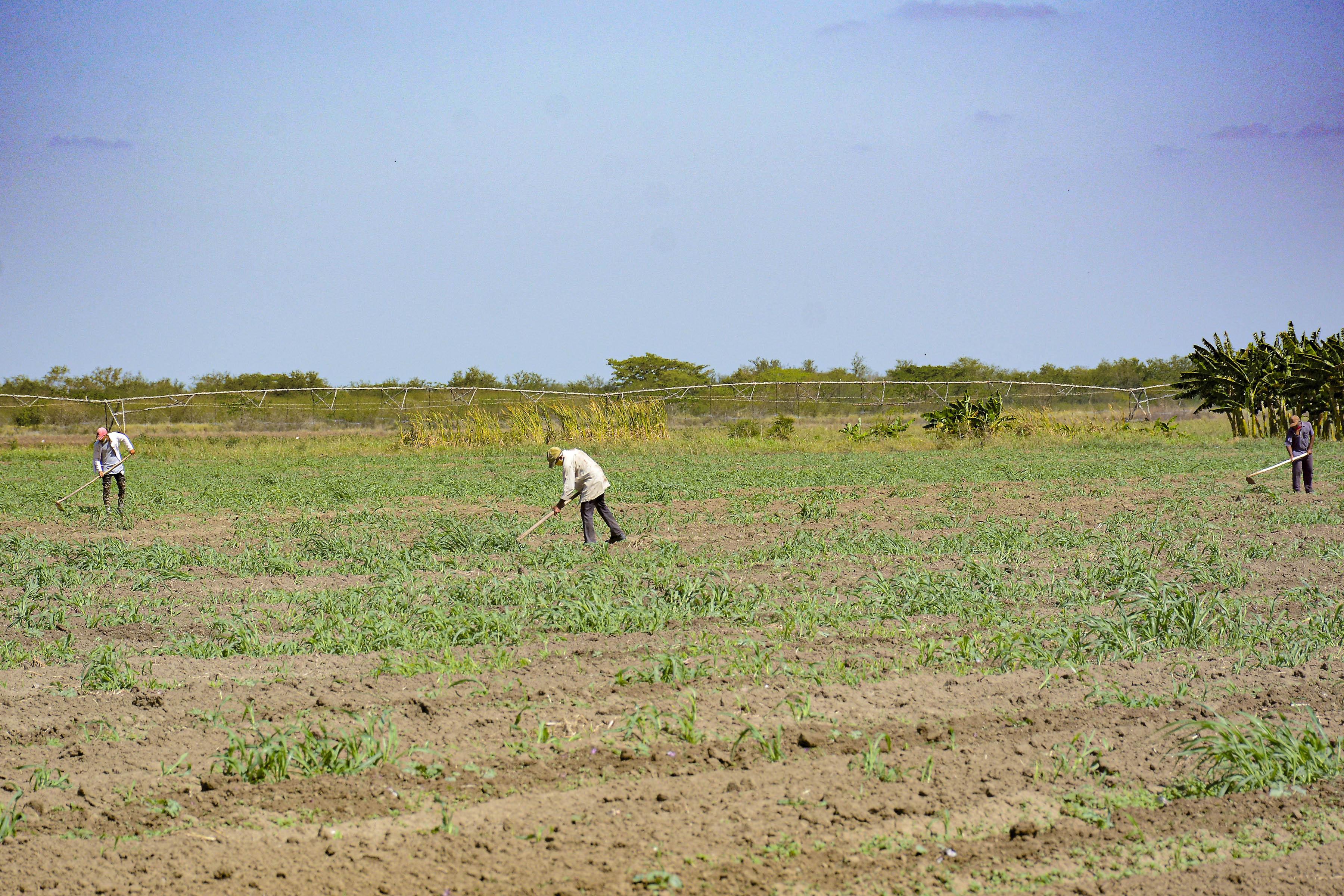 Va por la eficiencia y la diversificación  Empresa agropecuaria Jiguani