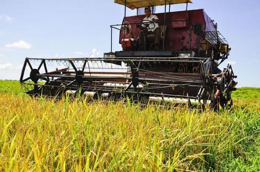 En marcha cosecha de arroz en Granma