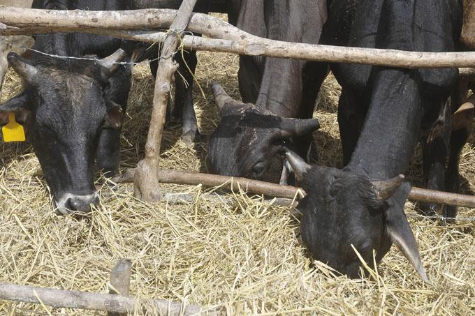 Sembrar y producir más alimento animal