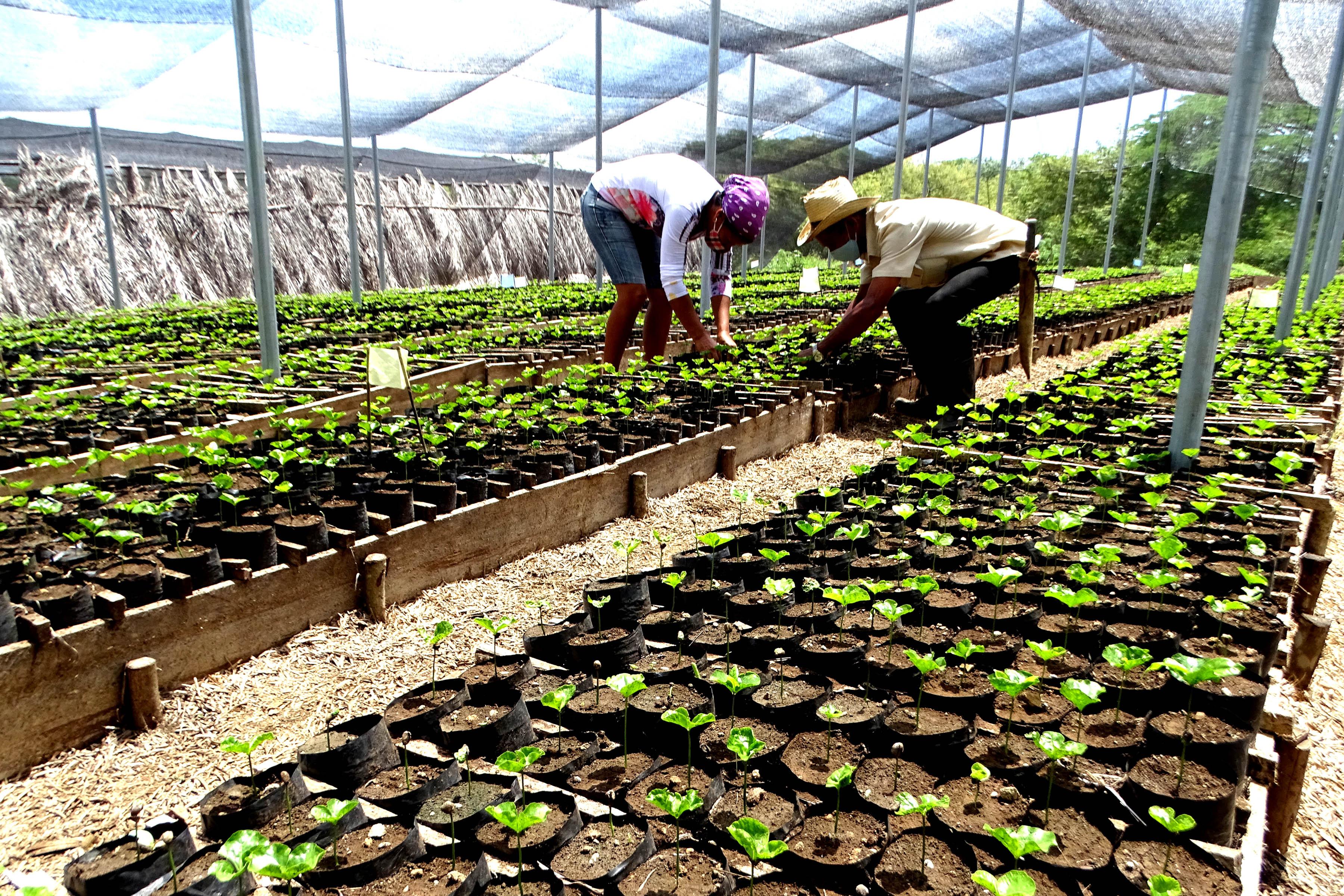 Proyecto de Macanacú, en Guisa:  Para más café oro