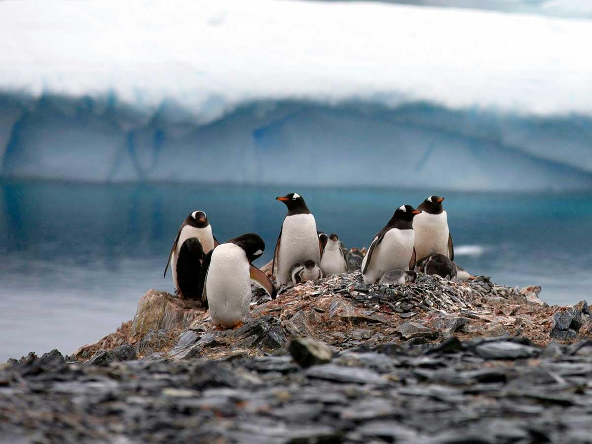Alertan sobre daños de microplásticos para los pingüinos en Antártida
