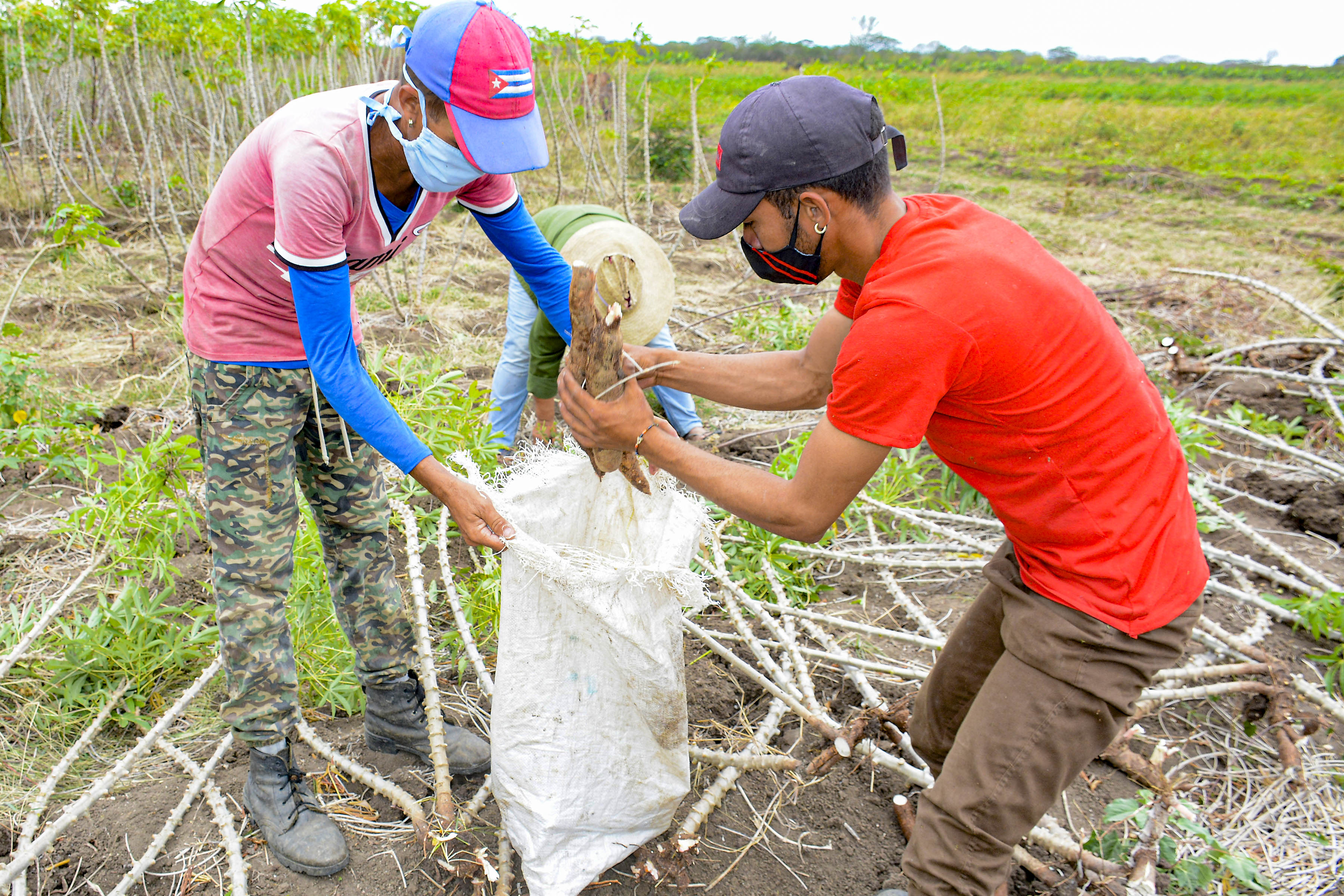 Buscan sostenibilidad productiva en Bartolomé Masó