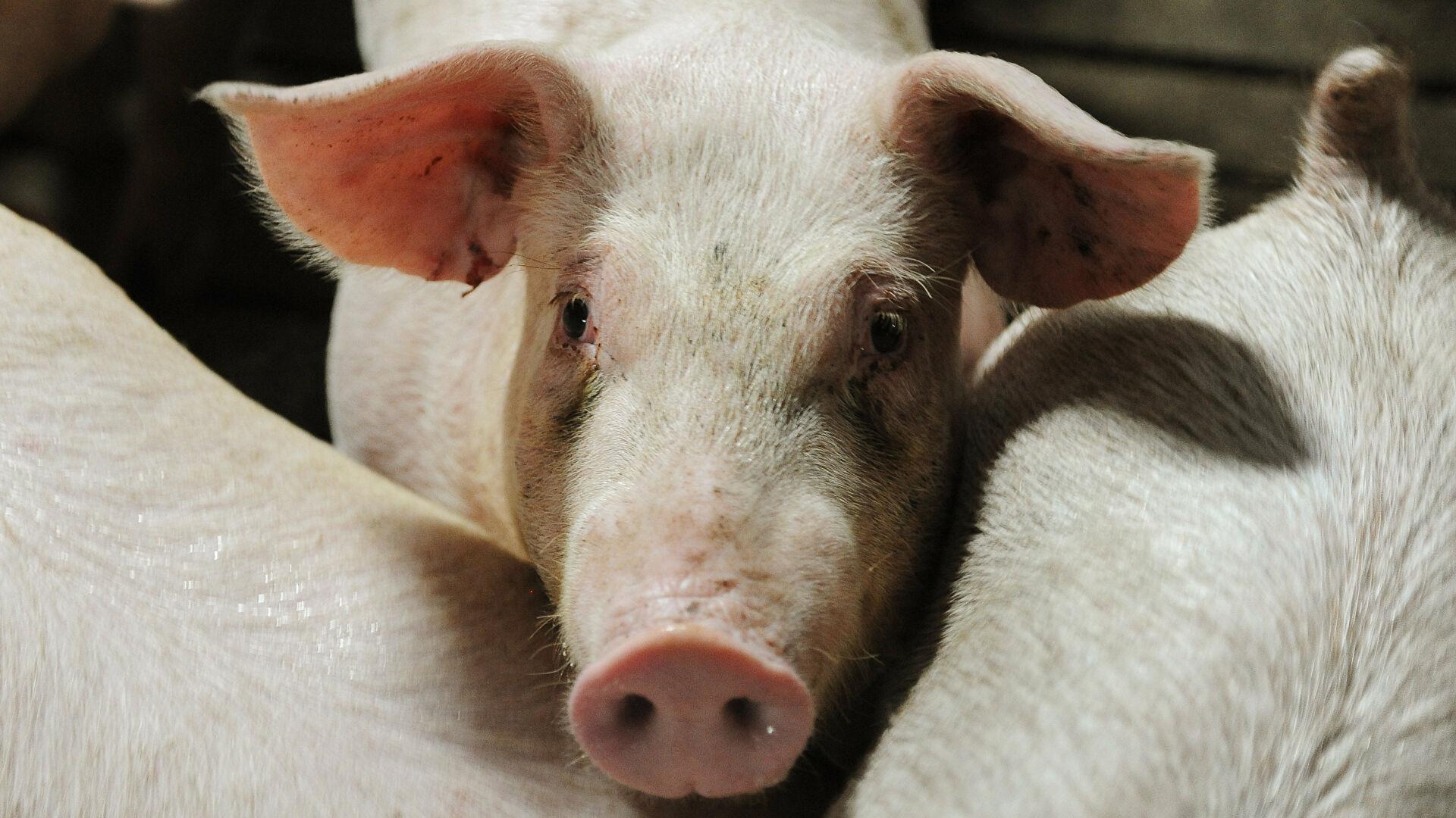 Sacrificarán tres mil 300 cerdos por fiebre porcina en Dominicana
