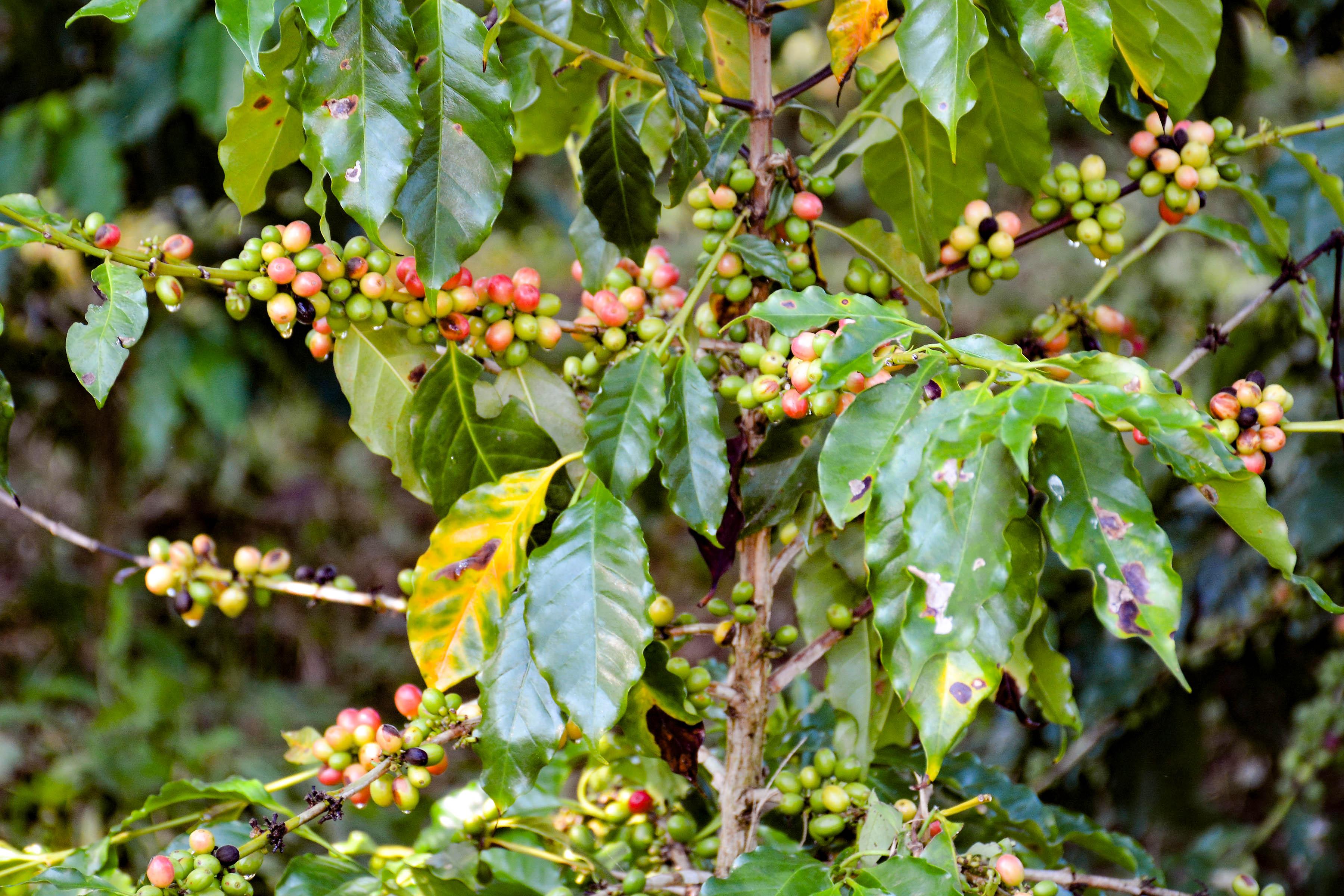 Pronostican que será superior cosecha cafetalera en Granma