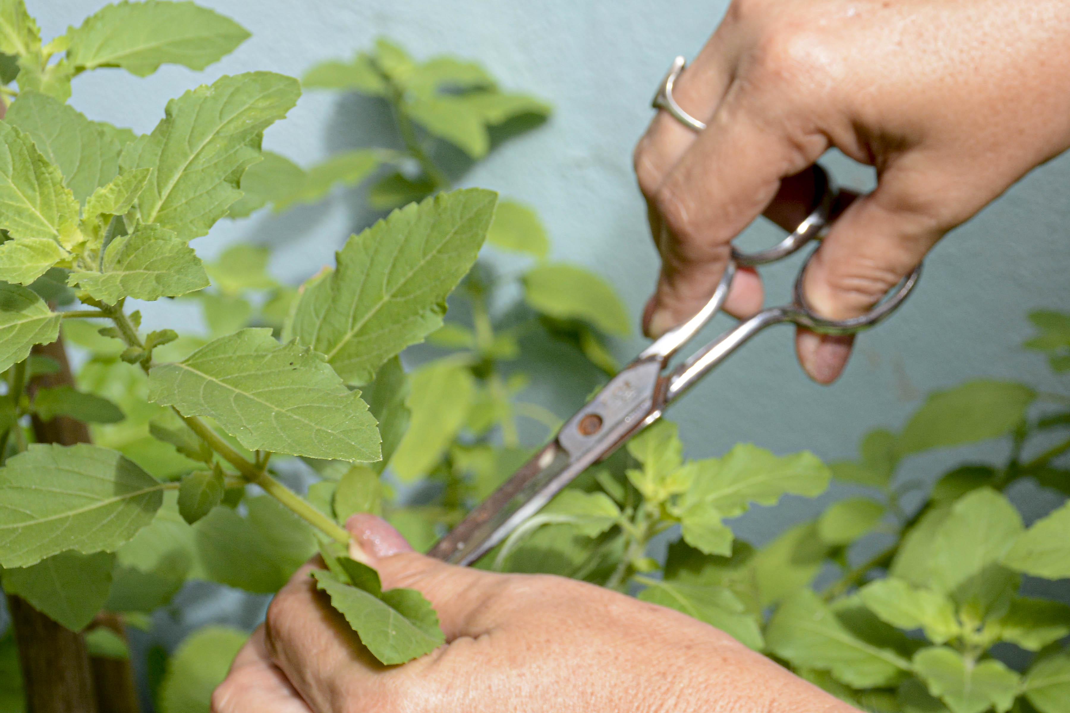 Recuperan producción de plantas medicinales